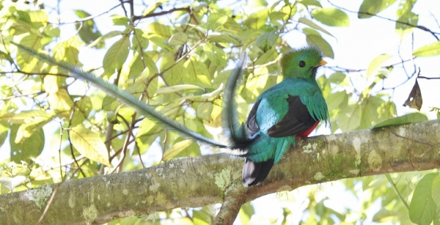 resplendent-quetzal-800x409