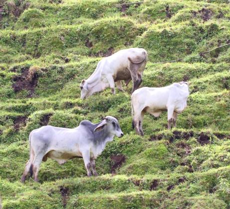 trio-of-brahma-cows-on-a-hill
