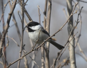 Black-capped Chickadee in my yard