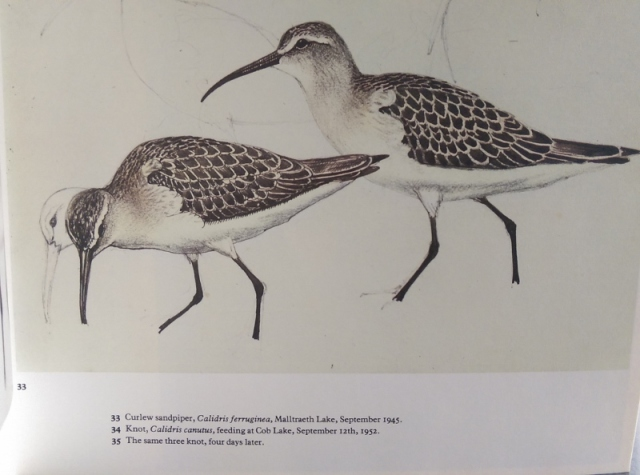 Blog - Sketchbook of Birds - illustration of Curlew Sandpiper (800x594)