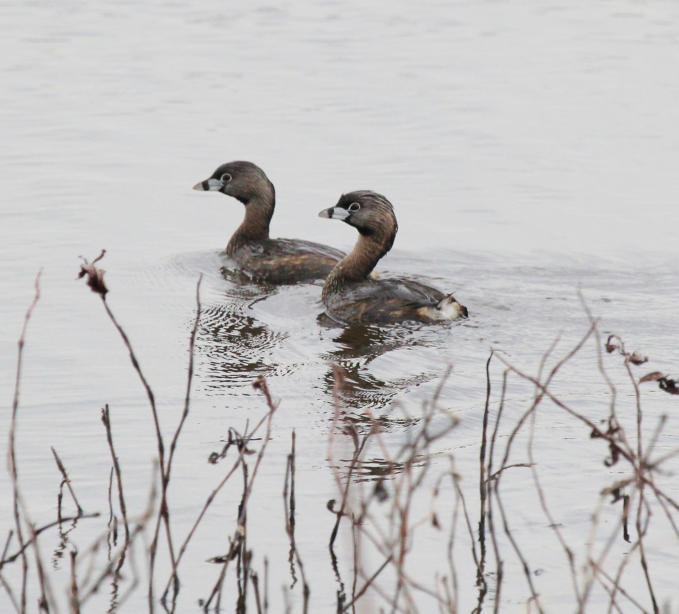 Pied-billed Grebes at Metzger 4-10-17
