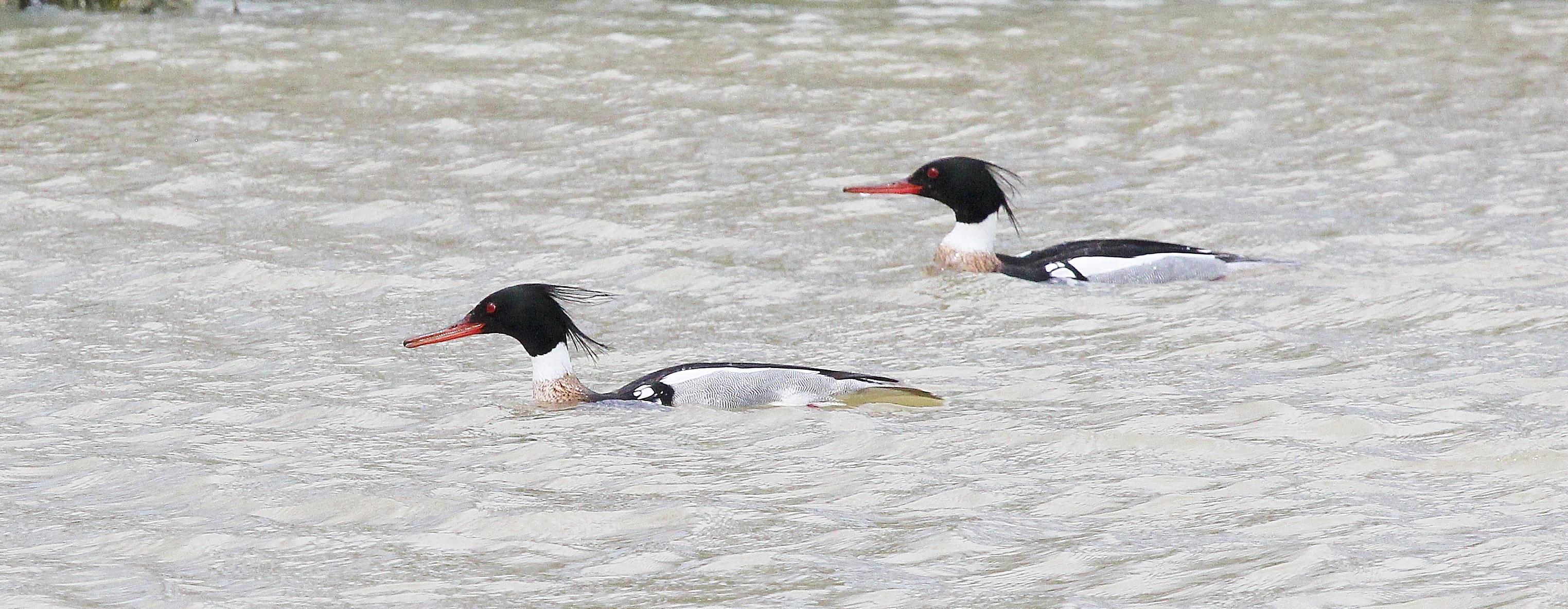 Red-breasted Mergansers - Metzger Marsh