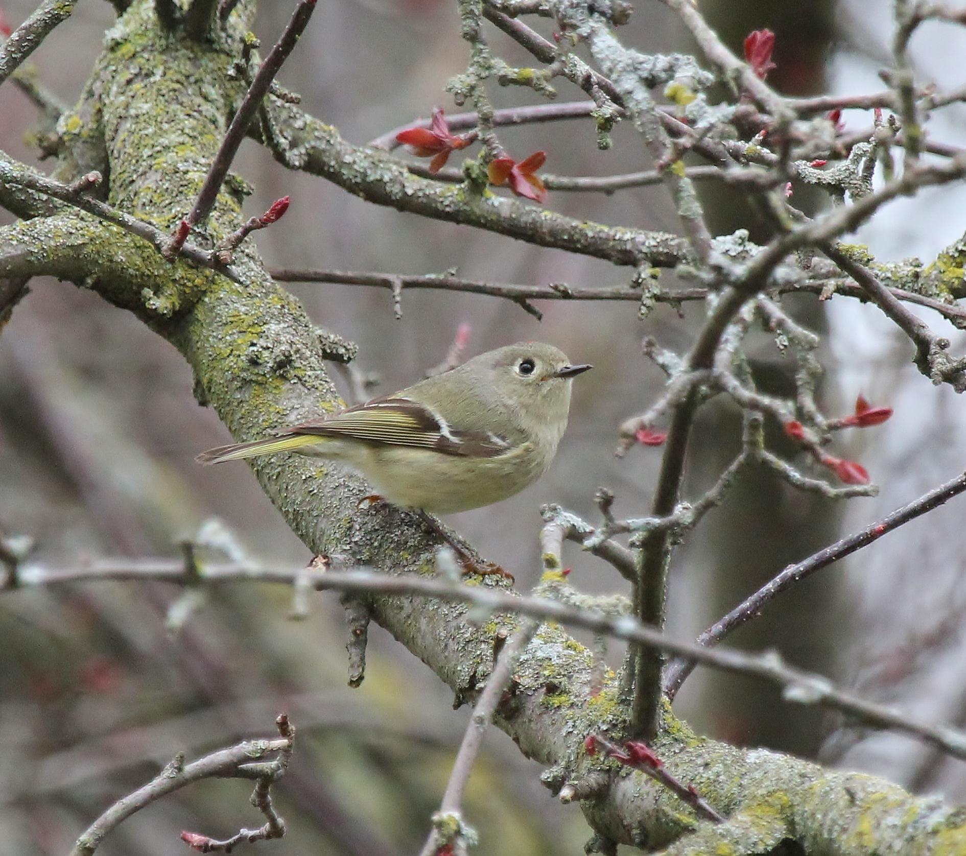Ruby-crowned Kinglet yard bird - better shot