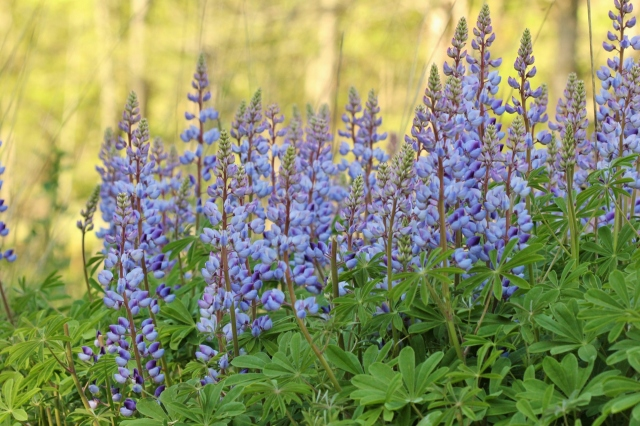 Blue lupines (2) (1280x853)