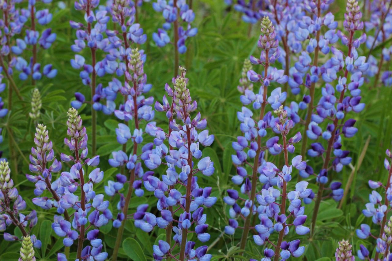 Blue lupines v3 (1) (1280x853)