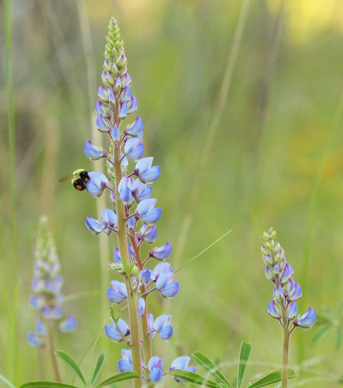 Blue lupines with bee (2) (1132x1280)