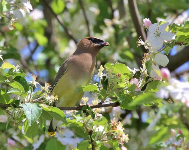 Cedar Waxwing eating crapapple blossoms (800x636)