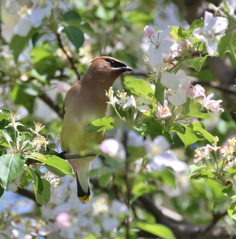 Cedar Waxwing in crabapple tree (790x800)