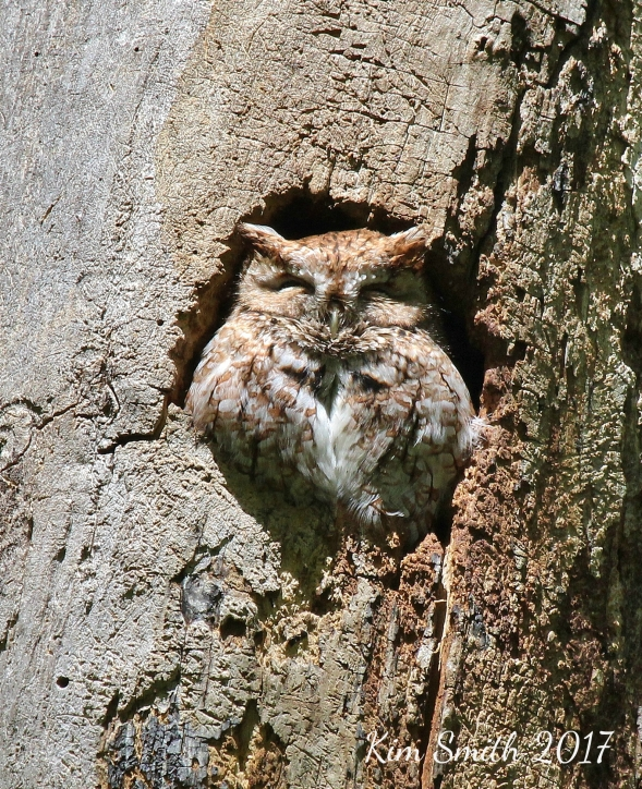 Eastern screech-owl at Pearson Metropark w sig