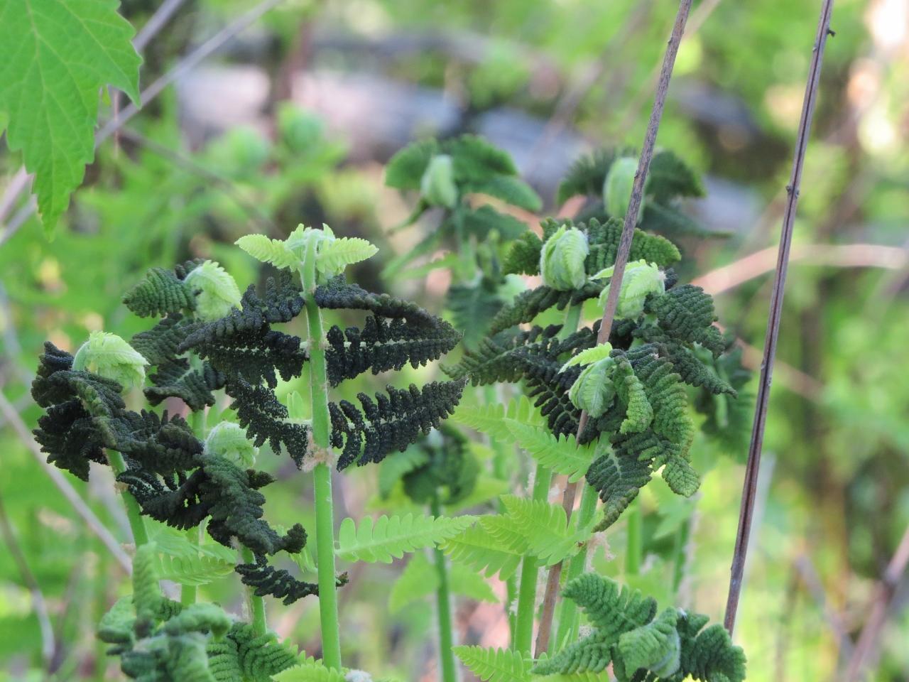 Ferns - weird two shades of green (1280x960)