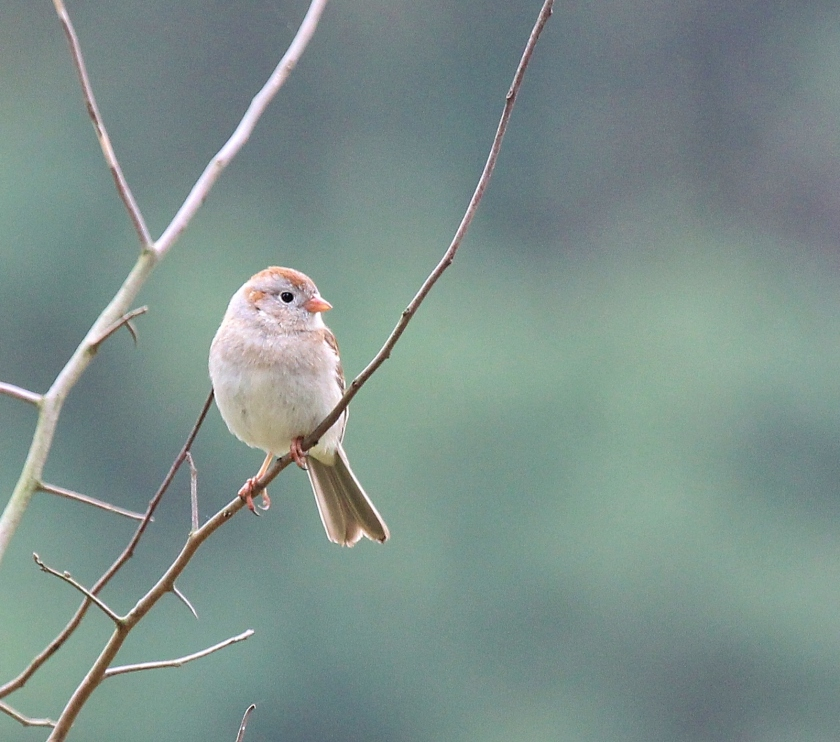 Field Sparrow at Oak Openings