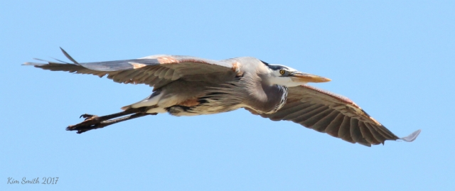 Great Blue Heron best in flight over Metzger pier reduced w sig