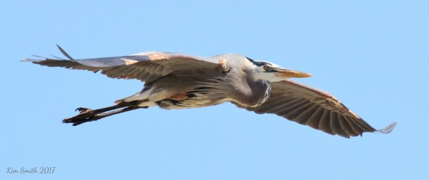 Great Blue Heron best in flight over Metzger pier reduced w sig