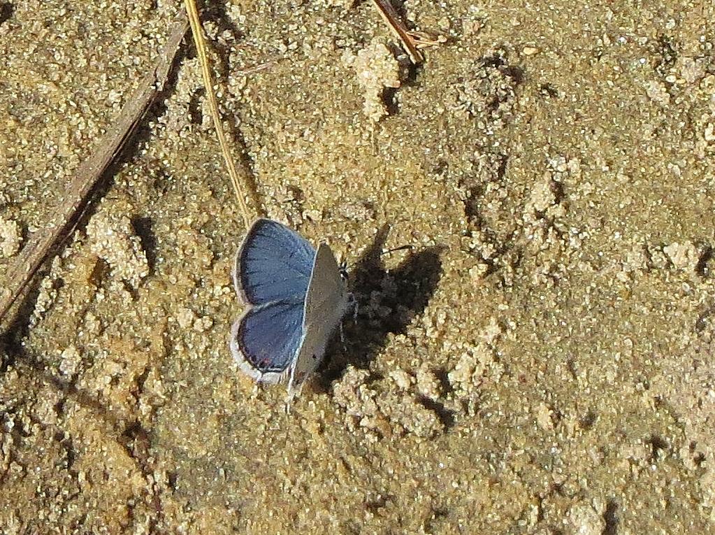 Karner blue butterfly - rare endangered (1)