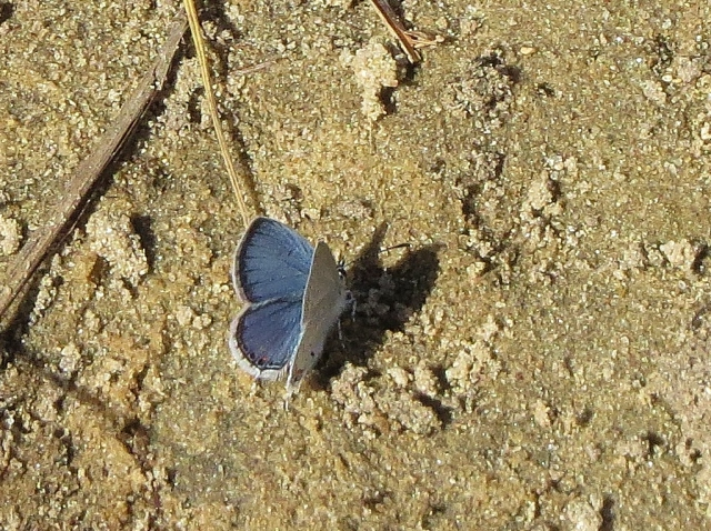 Karner blue butterfly - rare endangered (1)
