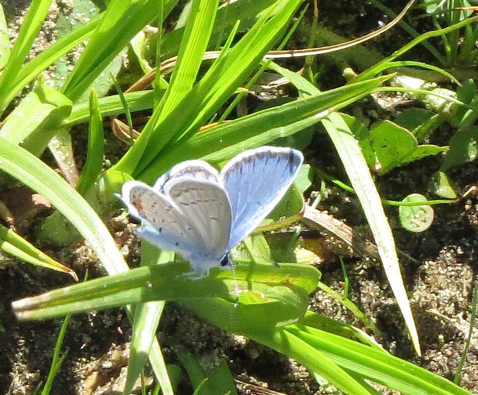 Karner blue butterfly - rare endangered (2)