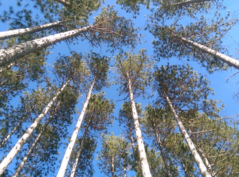 Looking up at tall trees - (800x594)