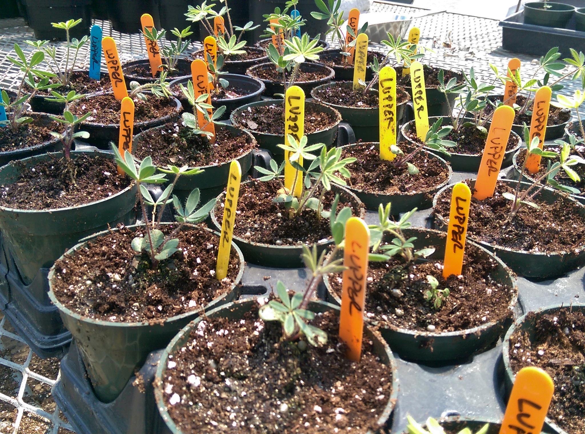 Lupines I transplanted for Toledo Metroparks