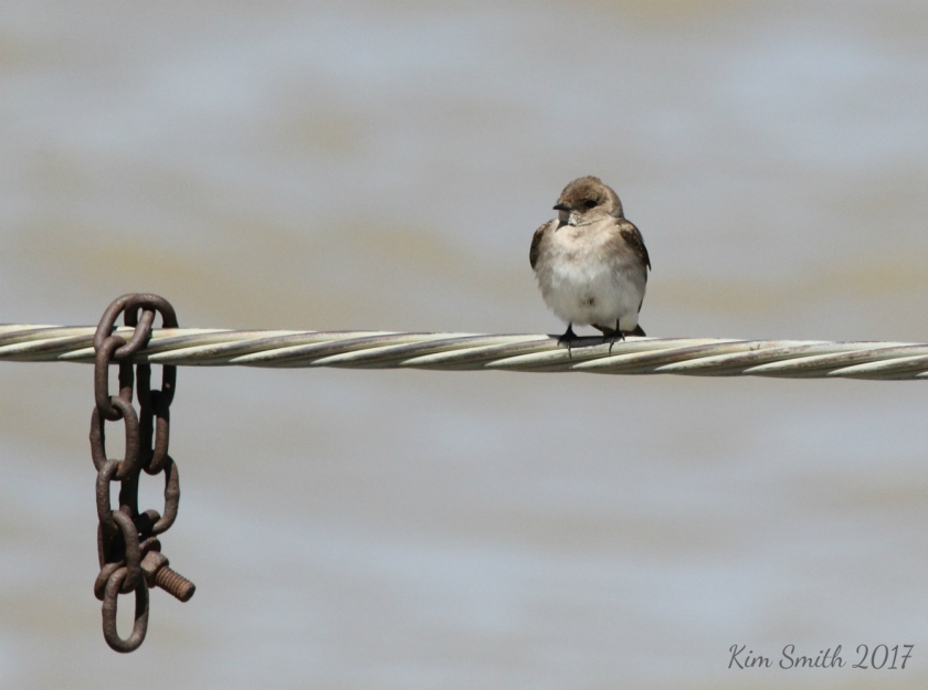 Northern Rough-winged Swallon on cable with chain reduced w sig