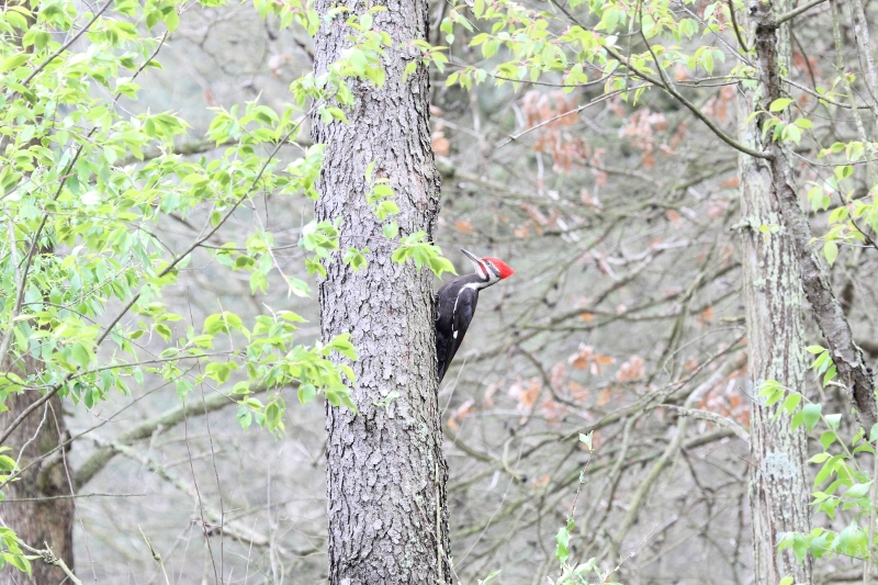 Pileated Woodpecker habitat shot (800x533)