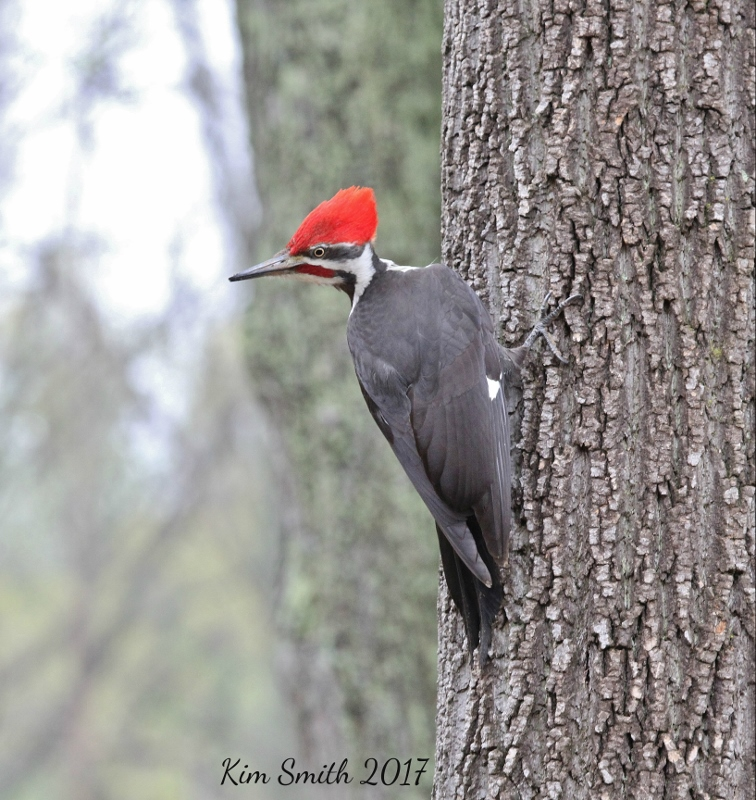 Pileated Woodpecker v2 with sig (756x800)