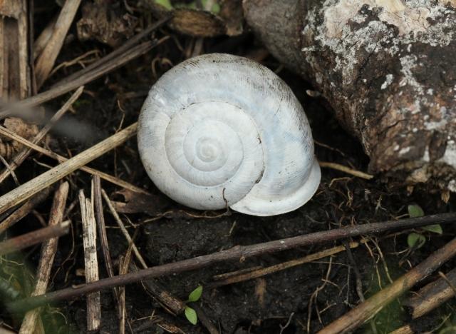 Snail shell from Castalia Prairie v2 (1024x749)