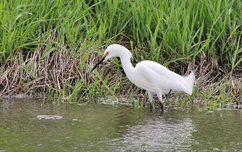 Snowy Egret at Magee Marsh (800x504)