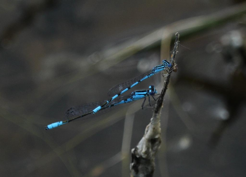 Bluets at Wiregrass Lake