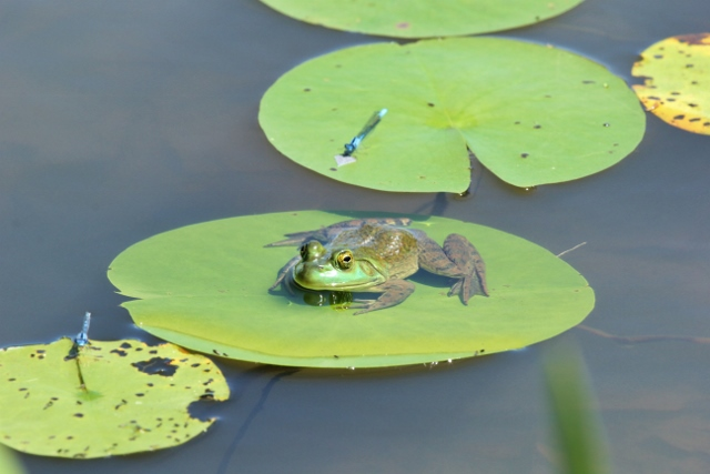 Bullfrog on lily pad with bluets nearby (640x427)
