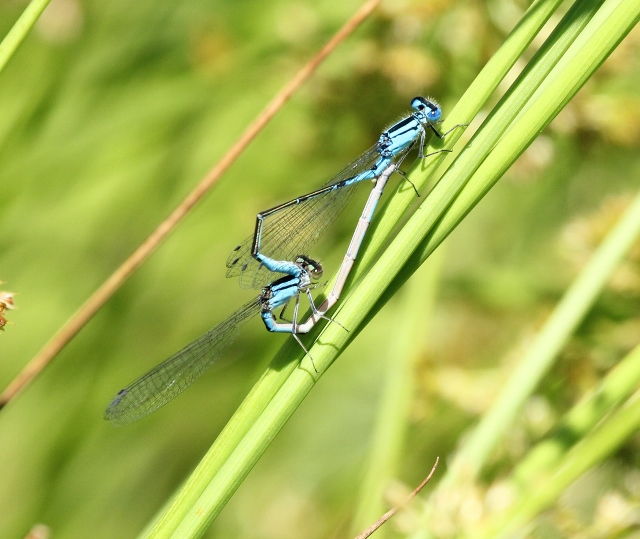 Damsels in mating wheel - to ID (640x539)