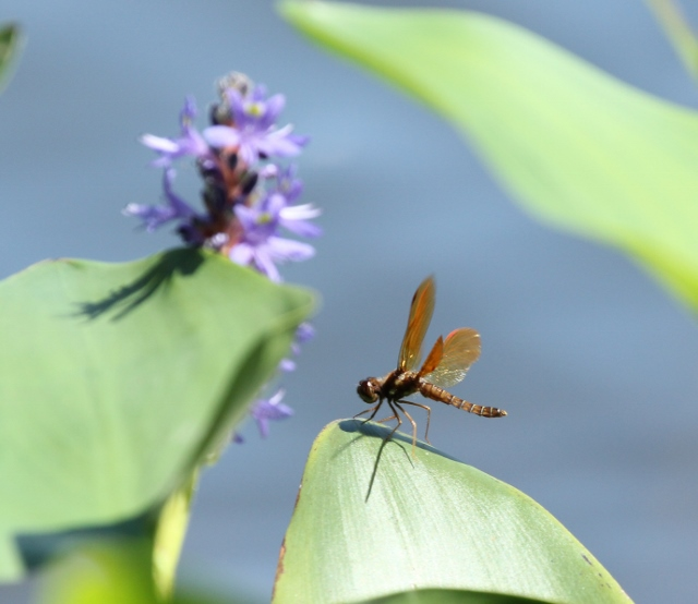 Eastern Amberwing with Pickerelweed in background (640x554)