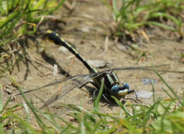 Pronghorn Clubtail dragonfly