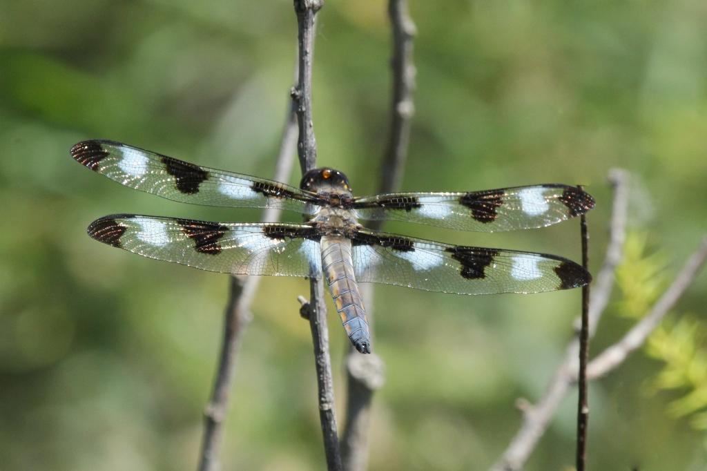 Twelve-spotted Skimmer dragonfly - Irwin Prairie