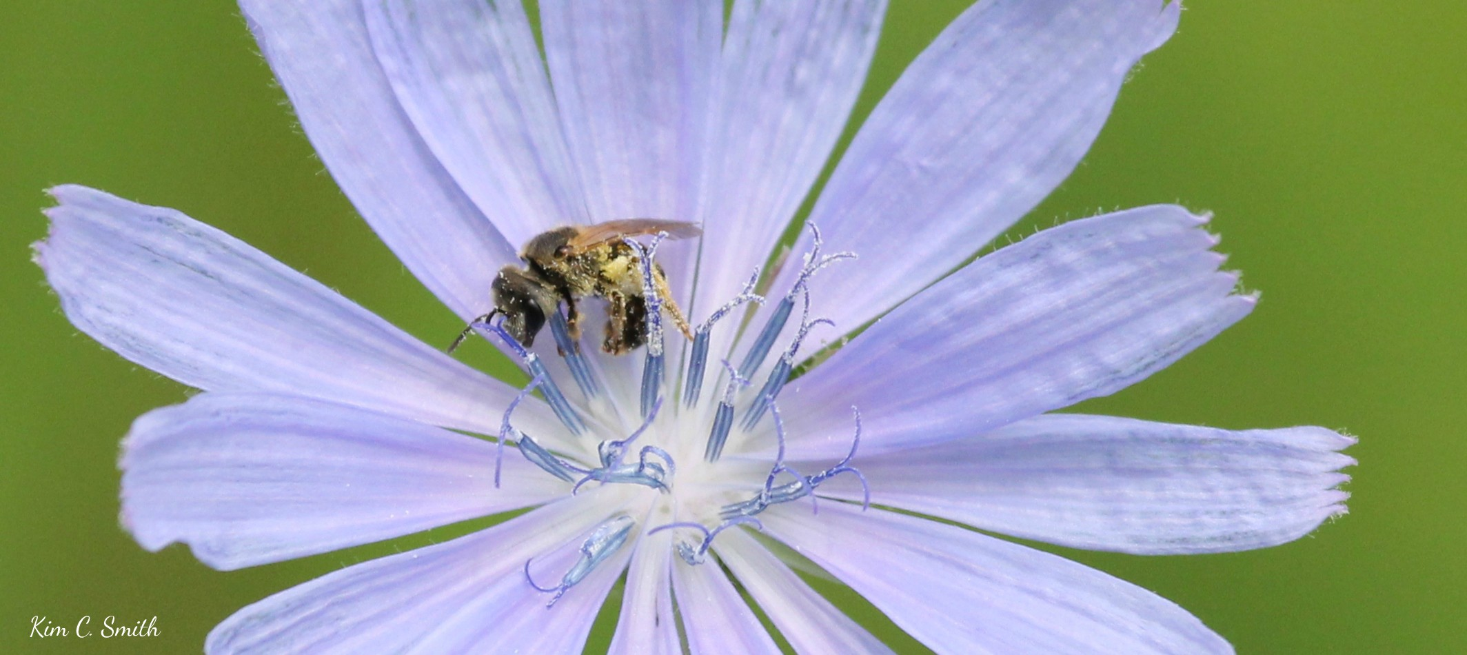 Bee on Chicory flower - close up w sig