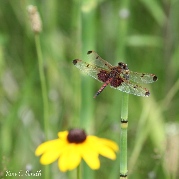 Calico Pennant on horsetail w rudbeckia w sig