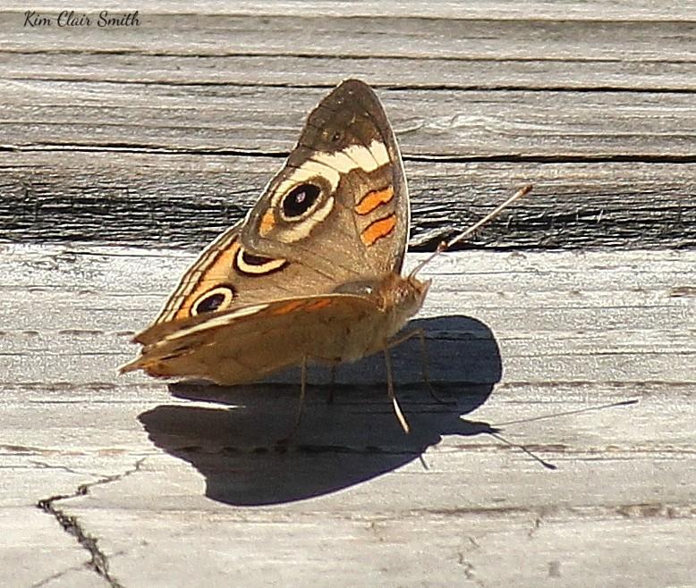 Common Buckeye butterfly w sig