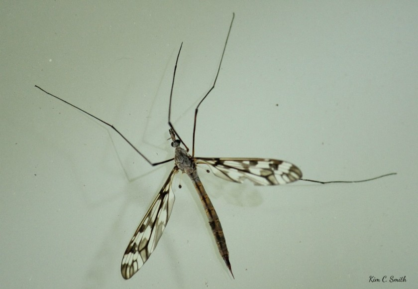 Crane Fly on my window - after I released him from spider web resized w sig