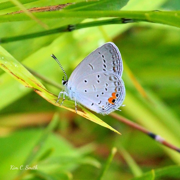 Eastern Tailed Blue butterfly - Cupido comyntas w sig