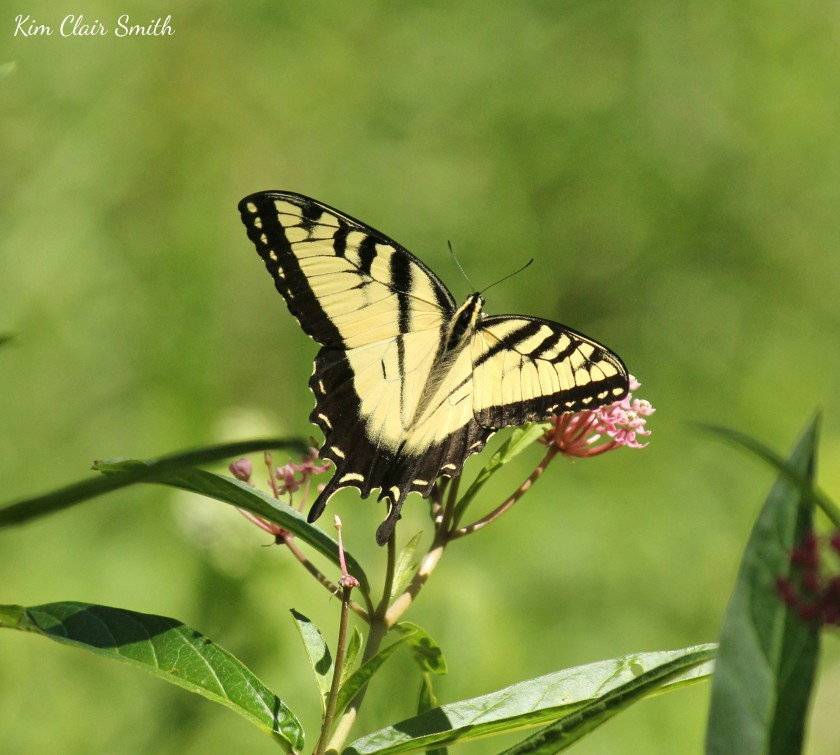 Eastern Tiger Swallowtail butterfly on swamp milkweed w sig