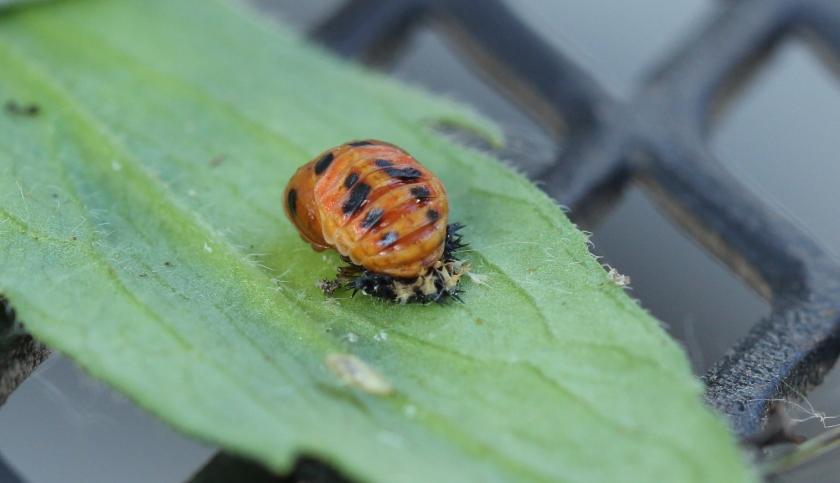 Ladybug pupa - not larva