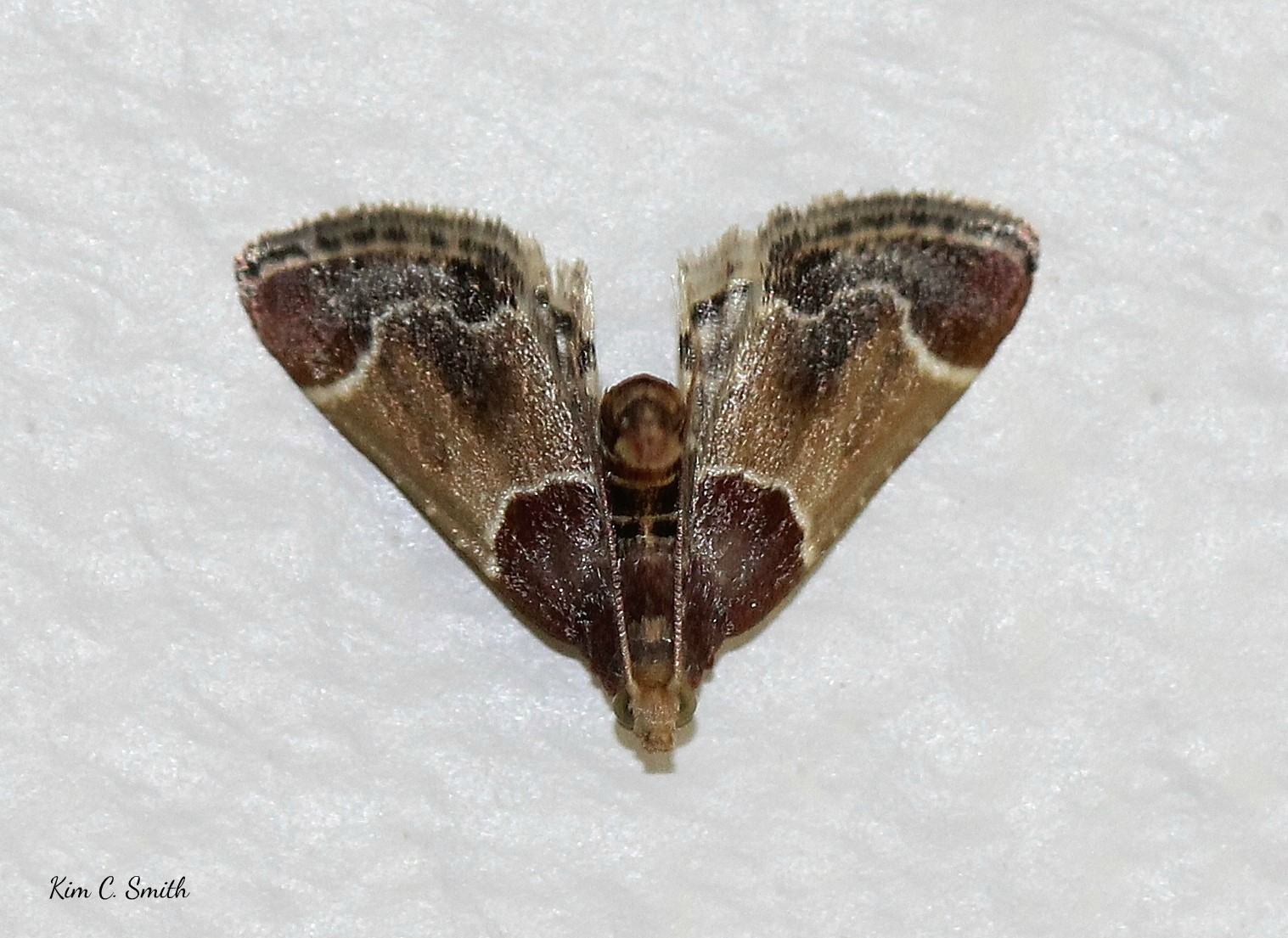 Meal moth - in my house - uh oh - w sig