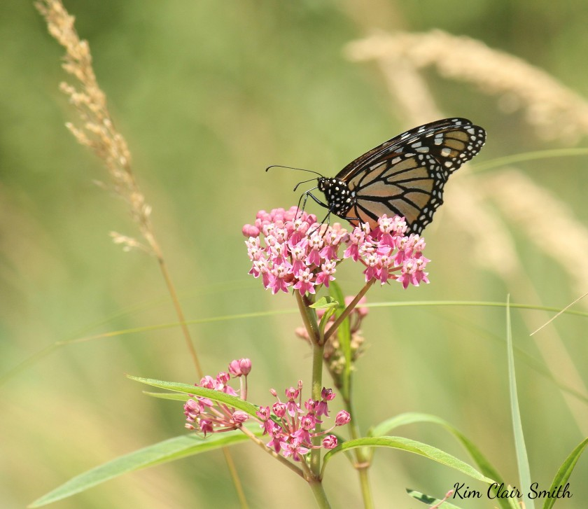 Monarch on swamp milkweed w sig