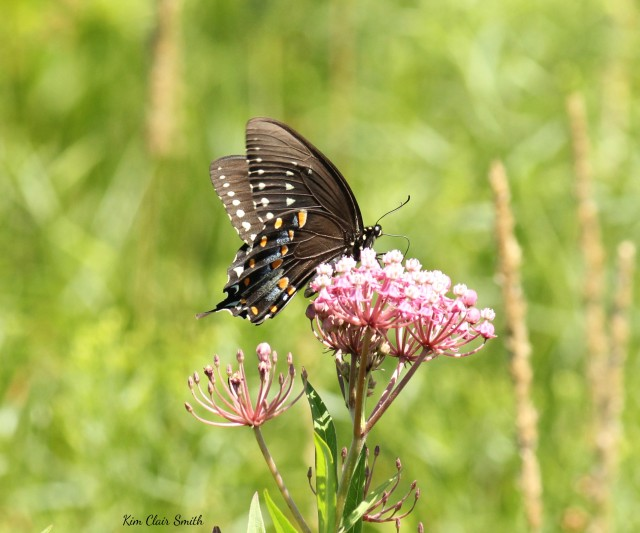 Spicebush Swallowtail butterfly w sig