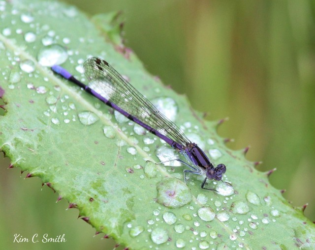 Variable Dancer damselfly drinking from raindrop w sig
