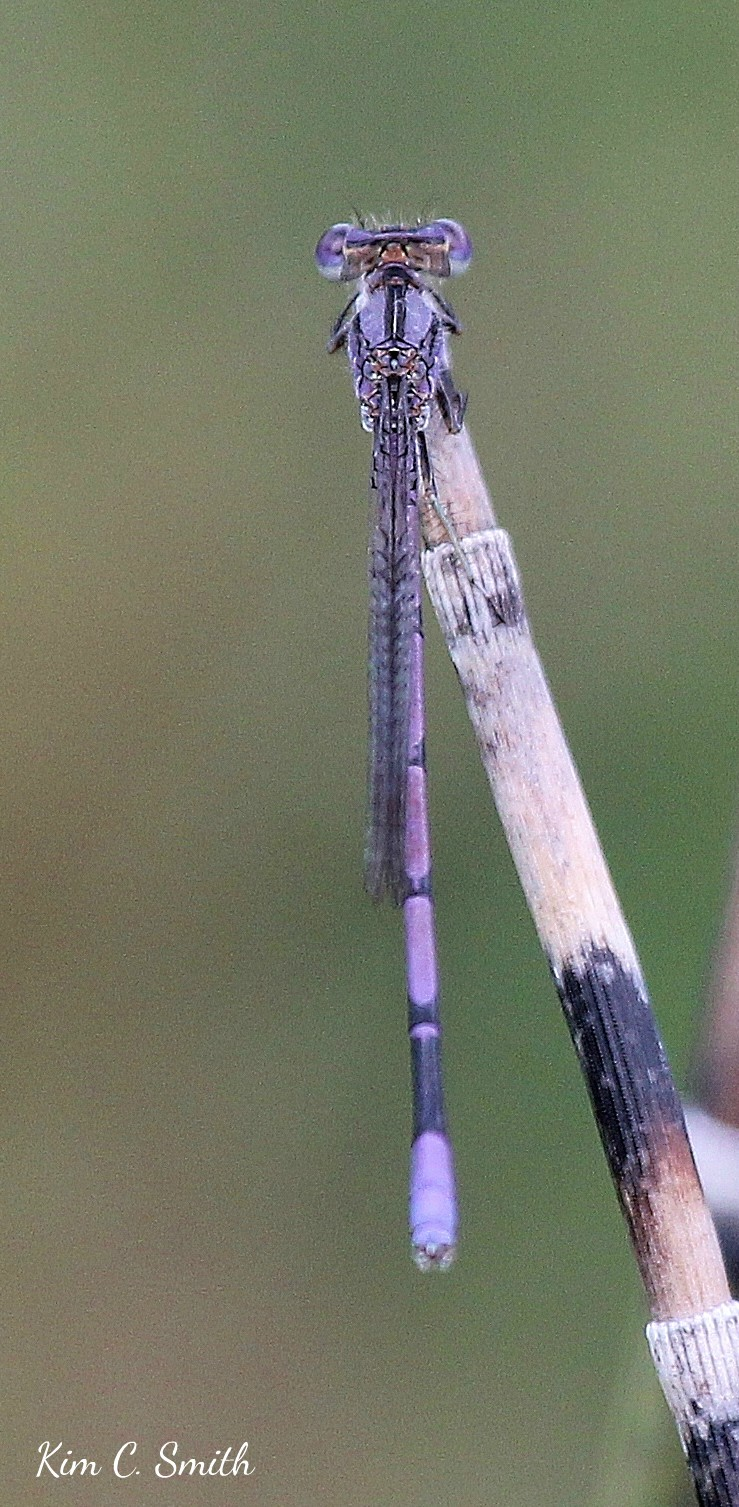 Variable Dancer damselfly on Horsetail - close crop w sig