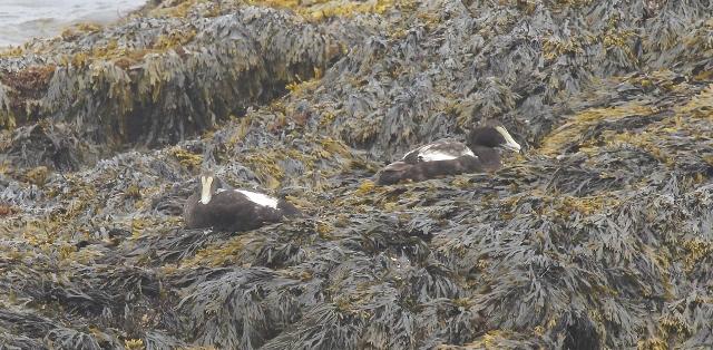 Common Eiders on kelp-covered rock (640x314)