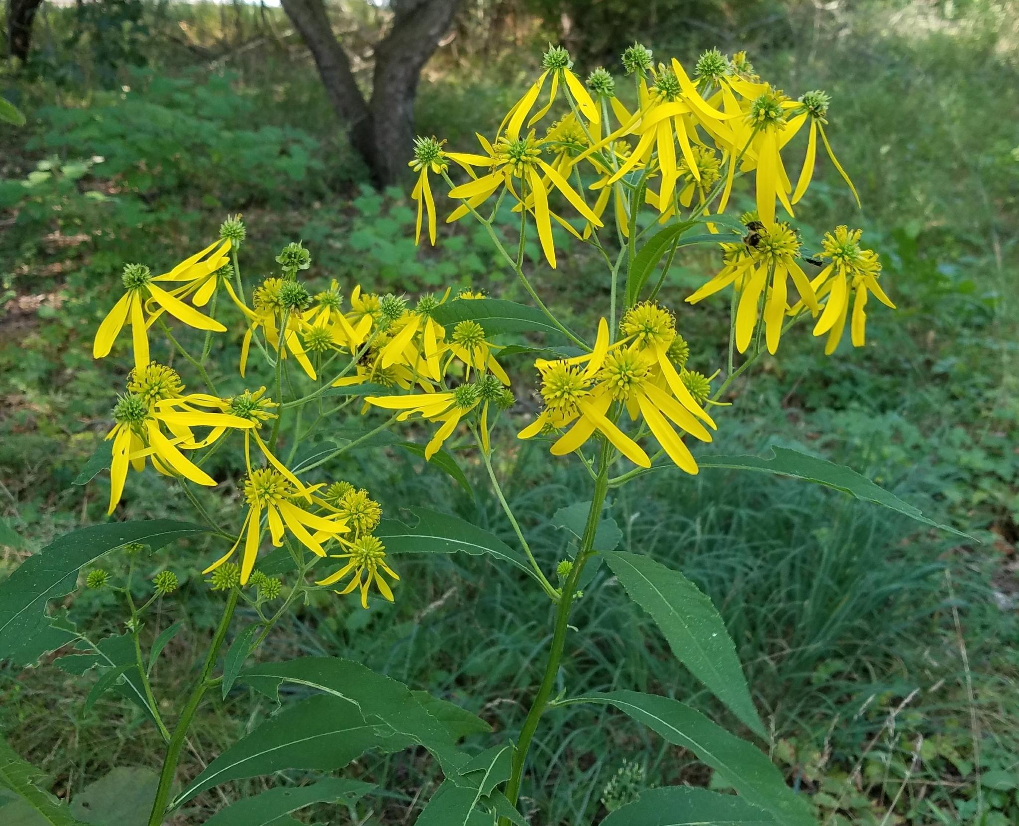 Cutleaf Coneflower - Rudbeckia laciniata - Wildwood