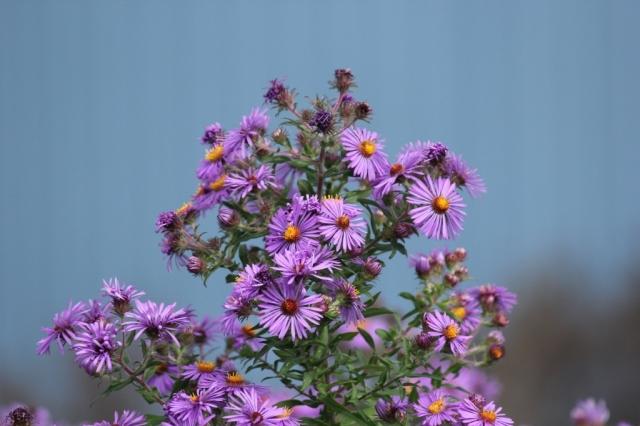 New England Aster - Symphyotrichum novae-angliae (1024x683)