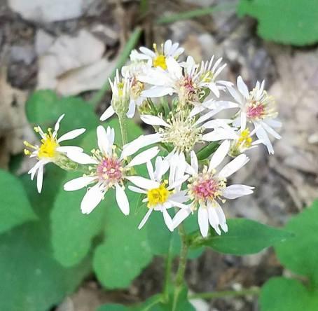 White Wood Aster - Eurybia divaricatus - Wildwood Preserve