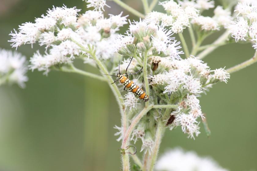 Ailanthus webworm moth (6)